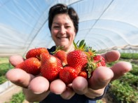 epa04718650 Fruit farmer Anita Schwehr-Schuessele holds up her freshly picked strawberries in Waldkirch-Buchholz, Germany, 24 April 2015. Summer-like temperatures boosted the growth of strawberries inSouth Baden.  EPA/PATRICK SEEGER