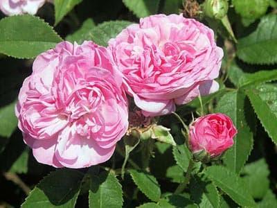 rose_maroc