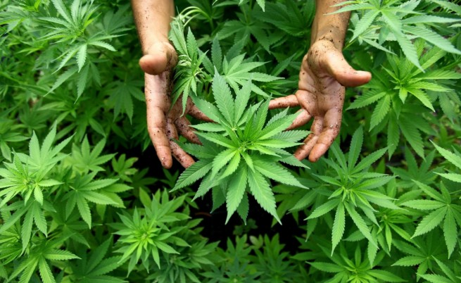 655-402-nagrazhdavat-naj-dobrite-sortove-marihuana-v-denvyr