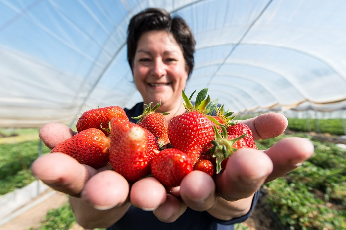 epa04718650 Fruit farmer Anita Schwehr-Schuessele holds up her freshly picked strawberries in Waldkirch-Buchholz, Germany, 24 April 2015. Summer-like temperatures boosted the growth of strawberries in South Baden.  EPA/PATRICK SEEGER